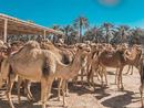 Royal Camel Farm - @supadupa_slivka